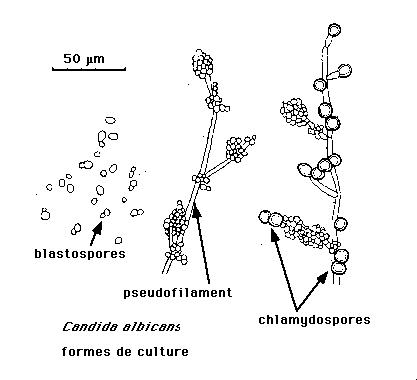 Schéma d'une levure bourgeonnante