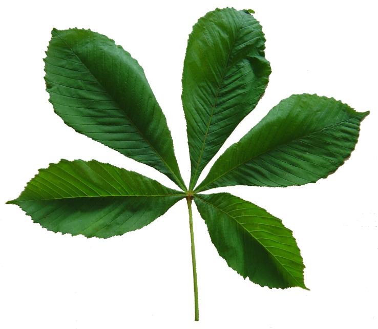 Plantes De Phytotherapie Marronnier D Inde