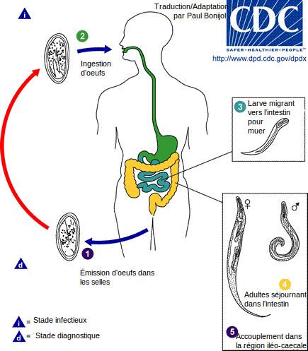 cum să te protejezi de viermi ce sunt toxinele din organism