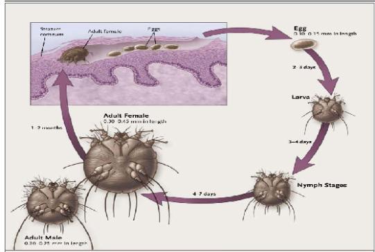 le parasite de la gale