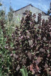 plante griffonia